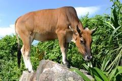 Vaca que come no prado Imagens de Stock Royalty Free