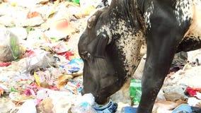 Vaca que come o desperdício das sobras no saco de plástico do polietileno lixo descarga estrada lado Deli no 3 de maio de 2018 video estoque