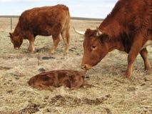 Vaca que comprueba su becerro recién nacido Foto de archivo libre de regalías