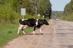 Vaca que cruza el camino Fotos de archivo libres de regalías