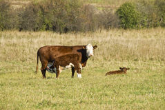 Vaca que cuida una parida Fotografía de archivo