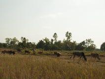 Vaca que cultiva em Tailândia fotografia de stock royalty free