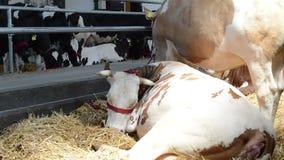 Vaca que descansa en granero