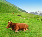 Vaca que encontra-se na grama Imagem de Stock