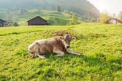 Vaca que encontra-se na grama verde Imagem de Stock