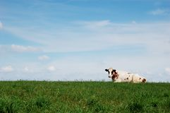 Vaca que encontra-se no prado Imagem de Stock