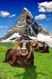 Vaca que encontra-se nos alpes suíços Fotos de Stock Royalty Free