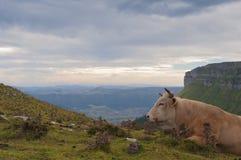 Vaca que encontra-se nos pastos da montanha alta Imagens de Stock Royalty Free