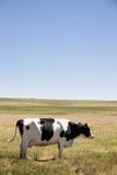 Vaca que golpeia moscas Imagem de Stock Royalty Free