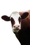 Vaca que introduce aislada Imagen de archivo