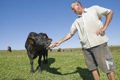 Vaca que introduce del granjero de lechería. Fotografía de archivo libre de regalías