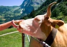 Vaca que lame la mano Foto de archivo libre de regalías