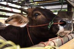 Vaca que llora en el camión: tristeza, miedo Foto de archivo libre de regalías