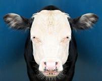 Vaca que mira fijamente la cámara Fotografía de archivo