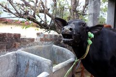 Vaca que mooing Imagens de Stock