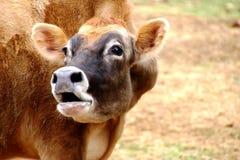 Vaca que mooing no pasto fotos de stock royalty free