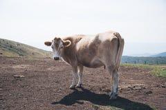 Vaca que olha a câmera Imagens de Stock Royalty Free