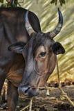 Vaca que olha me! Imagens de Stock Royalty Free