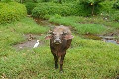 Vaca que olha para a câmera fotografia de stock