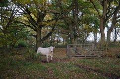 Vaca que pasa una puerta abierta Imagen de archivo