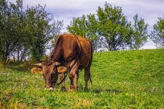 Vaca que pasta Fotos de archivo libres de regalías