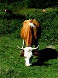 Vaca que pasta Foto de archivo