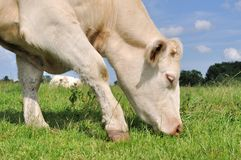 Vaca que pasta Fotografía de archivo libre de regalías
