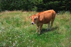 Vaca que pasta Foto de archivo libre de regalías