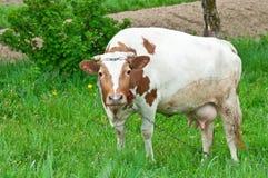 Vaca que pasta Imágenes de archivo libres de regalías