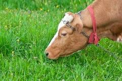 Vaca que pasta Imagenes de archivo