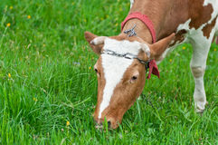 Vaca que pasta Fotos de archivo