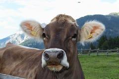 Vaca que pasta Fotografia de Stock