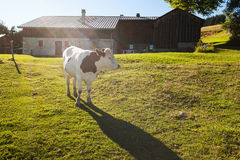 Vaca que pasta cerca de granja Foto de archivo libre de regalías