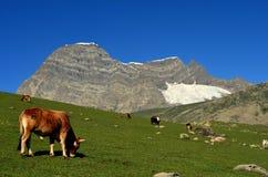 Vaca que pasta cerca de las montañas y de los prados hermosos en Sonamarg, Cachemira, la India imagen de archivo