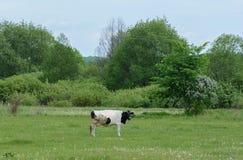 Vaca que pasta em um prado perto da casa imagem de stock