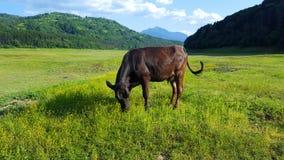 Vaca que pasta en campo Imagen de archivo libre de regalías