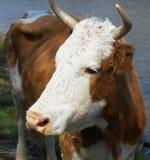 Vaca que pasta en el prado Fotografía de archivo libre de regalías