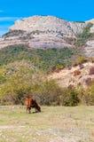 Vaca que pasta en las cuestas de la montaña Imagen de archivo