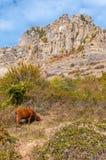 Vaca que pasta en las cuestas de la montaña Foto de archivo