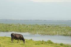 Vaca que pasta en pasto por el lago Fotografía de archivo