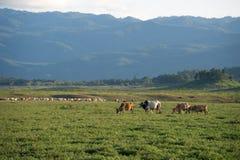 Vaca que pasta en tierras de labrantío Fotos de archivo libres de regalías