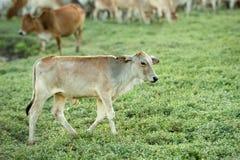 Vaca que pasta en tierras de labrantío Foto de archivo