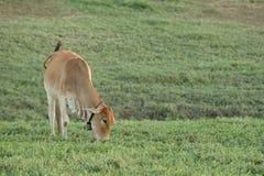 Vaca que pasta en tierras de labrantío Imágenes de archivo libres de regalías