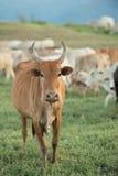 Vaca que pasta en tierras de labrantío Fotografía de archivo