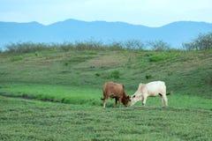 Vaca que pasta en tierras de labrantío Imagen de archivo libre de regalías