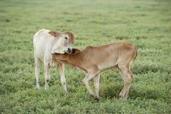 Vaca que pasta en tierras de labrantío Foto de archivo libre de regalías