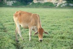 Vaca que pasta en tierras de labrantío Imagen de archivo