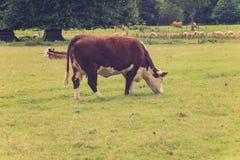Vaca que pasta en un campo Fotografía de archivo libre de regalías