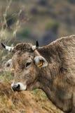 Vaca que pasta en un campo Foto de archivo libre de regalías