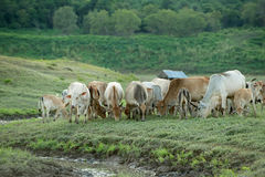 Vaca que pasta na terra Fotos de Stock
